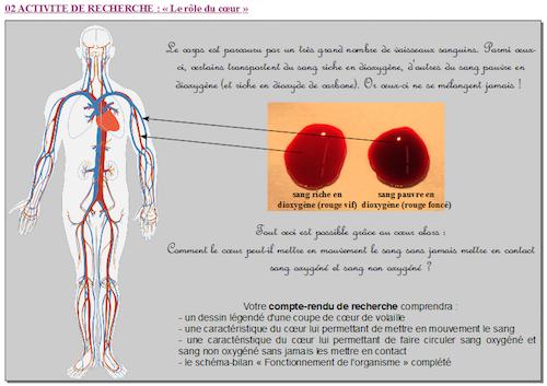 role du coeur dans la circulation sanguine